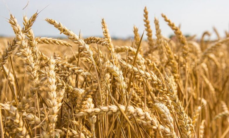 How Grains Affect the Flavour of Beer